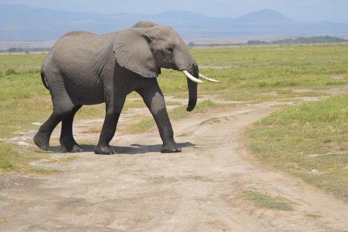 dramblys,afrika,miškas