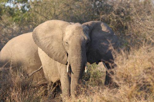dramblys,tusks,dramblio kaulas,Afrikos,laukiniai,gyvūnas,žinduolis,bagažinė,didelis,safari,laukinė gamta,didelis,nacionalinis,parkas,ausys,didelis,krūmas