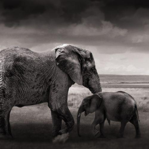 dramblys,kūdikio dramblys,jaunas,gyvūnai,afrika,jaunasis dramblys,african bush dramblys,dramblys šeima,pachyderm,dykuma,proboscidea,safari,heiss,žinduolis,jauni gyvūnai,gyvūnų pasaulis,dideli penki,gamta
