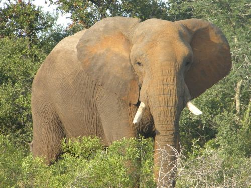 dramblys,afrika,laukinė gamta,Afrikos,gyvūnas,safari,pietų Afrika