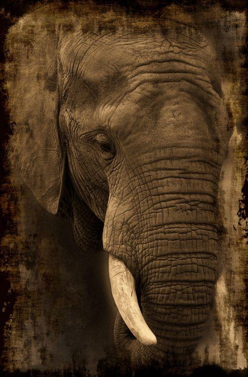 dramblys,afrika,safari,gyvūnas,african bush dramblys,zoologijos sodas,proboscis,dykuma,Uždaryti,gyvūnų portretas,savana,gamta,Rytų Afrika,Nacionalinis parkas,pietų Afrika,proboscidea,kenya