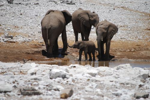 dramblys,kūdikio dramblys,jaunasis dramblys,dramblio vaikas,african bush dramblys,vandens skylė,žaisti,proboscis,šeima