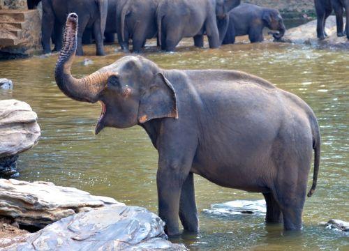 dramblio vonia,dramblys,nėščia dramblys,maudymosi dramblys,moterų dramblys,šauksmas,Šri Lanka,ceilonas,pinnawala,dramblys našlaitis