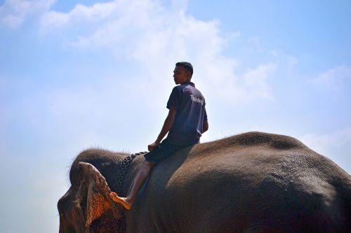 dramblys,važiuoti drambliu,treneris,dramblio treneris,žiedo meistras,Šri Lanka,pinnawala,ceilonas