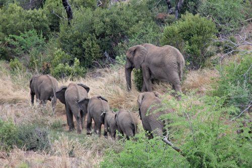 drambliai,įdomus,nuotykis,safari,vaizdingas,gražus,įdomus,saulės miestas,Pilanesbergo žaidimų rezervas,Johanesburgas,pietų Afrika