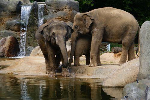 drambliai,zoologijos sodas,proboscis,gyvūnas,gyvūnai,zoologijos sodas,dramblys,dramblys šeima,didelis žinduolis