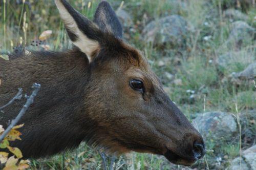 Elnelis, Uolų Kalnų Laukinė Gamta, Colorado, Gamta, Laukinė Gamta, Uolėti Kalnai, Horizontalus