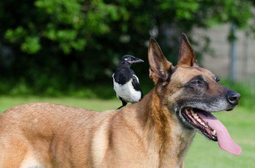 elster,Malinois,gyvūnų draugystė,gyvūnų draugystė,šuo ir paukštis