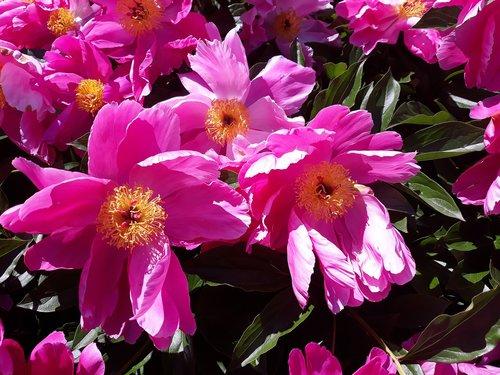siuvinėjimas, bijūnas, Sekminės, rožinis, dideliais žiedais, žiedas, žydi, vasara, Žiedlapis, Sodas, pobūdį, žiedadulkės, gimtadienis, rožė
