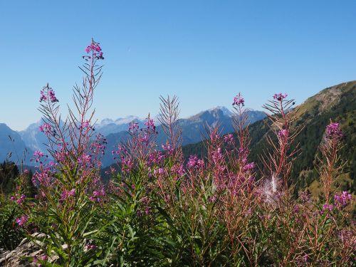 epilobium angustifolium,gėlė,žiedas,žydėti,atgal šviesa,vakaro saulė,rausvai,raudonos spalvos,rožinis,violetinė,vakarinė šakniavaisė,Onagraceae,daugiamečiai žoliniai augalai,miško griovys,miško kirtiklis,vaistinis augalas,vaistinis augalas,Alpių augalas,Alpių gėlė,st antoni žolė,kiaulienos žolė,ugnies žolė,vėžio gėlė,kurilischer arbata,velniškas žolė,laukinis purvinas,krūmas,žvakės kaip,pailgos,ilgai išaugęs,didelis augimas,didelis augimas,ilgas žiedynas,galutinis žiedynas,racemozės žiedynas,žiedynas,užpildas,vilnonis,plaukuotas,zigomorfinis