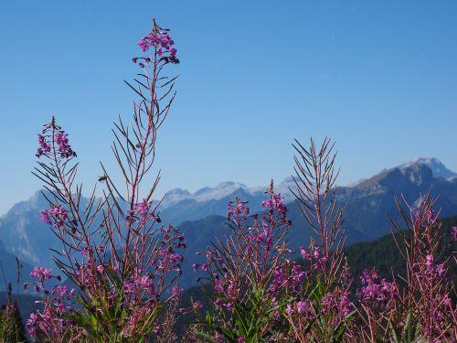 epilobium angustifolium,gėlė,žiedas,žydėti,atgal šviesa,vakaro saulė,rausvai,raudonos spalvos,rožinis,violetinė,vakarinė šakniavaisė,Onagraceae,daugiamečiai žoliniai augalai,miško griovys,miško kirtiklis,vaistinis augalas,vaistinis augalas,Alpių augalas,Alpių gėlė,st antoni žolė,kiaulienos žolė,ugnies žolė,vėžio gėlė,kurilischer arbata,velniškas žolė,laukinis purvinas,krūmas,žvakės kaip,pailgos,ilgai išaugęs,didelis augimas,didelis augimas,ilgas žiedynas,galutinis žiedynas,racemozės žiedynas,žiedynas,zigomorfinis