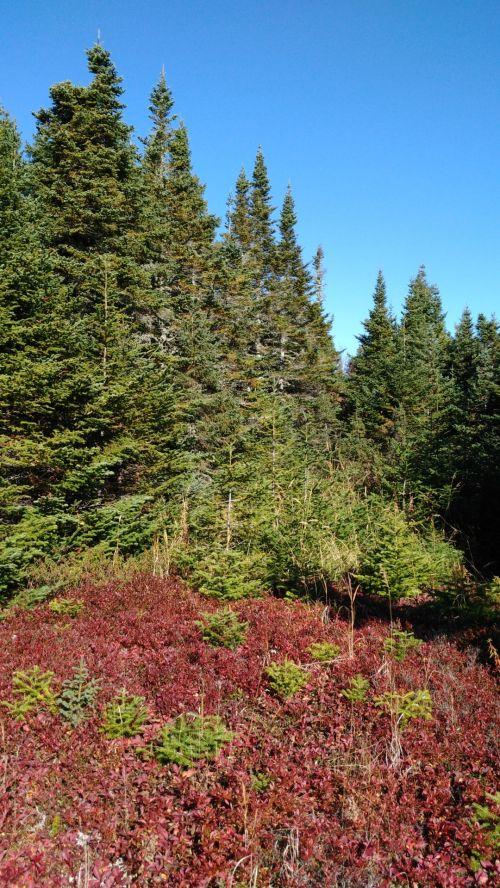Eglė, eglė, keturi & nbsp, kartus, medis, miškas, gamta, Eglė, eglę ir keturis kartus