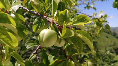 erik,slyva,vaisiai,žalias,makro,natūralus,uždaryti nuotrauką,miškas,medis,lapai