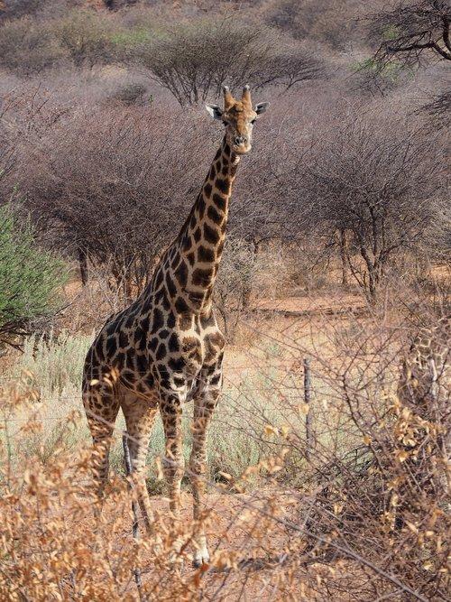 Etosha, žirafa, Afrika