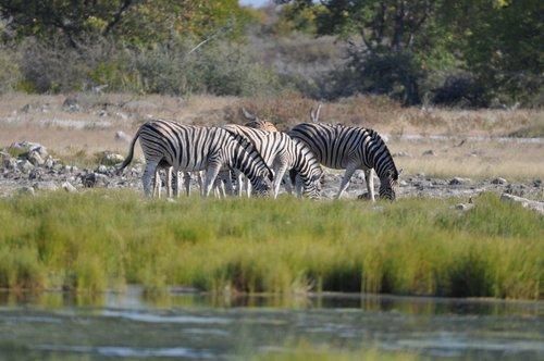 Etosha namibija, Zebra, vandens skylė, zebrai, gyvūnai, Namibija
