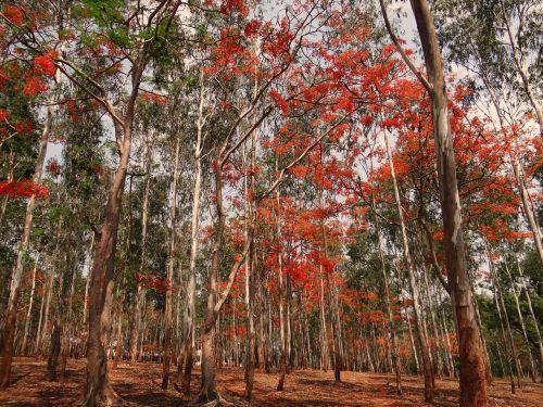 eukalipto medžiai,miškas,žydi,delonix regia,medžiai,Dharwad,Indija