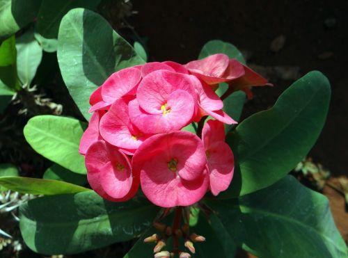 euphorbija,rožinis,gėlė,Hubli,nrupatunga betta,Indija