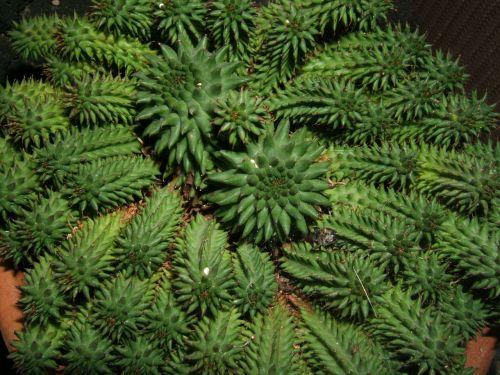 euphorbija,sultingas,augalas