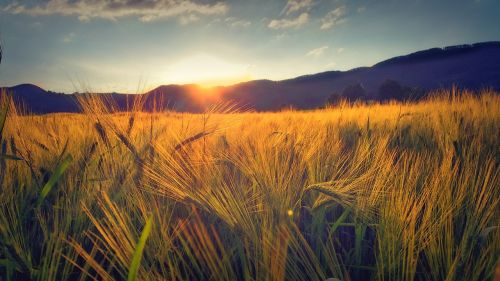 vakaro saulė,saulėlydis,debesys,dangus,rugių laukas,laukas,kukurūzų laukas,kvieciai,nuotaika,vakaras,vasara,peržiūra,gamta,dusk,gražus,saulė,kraštovaizdis