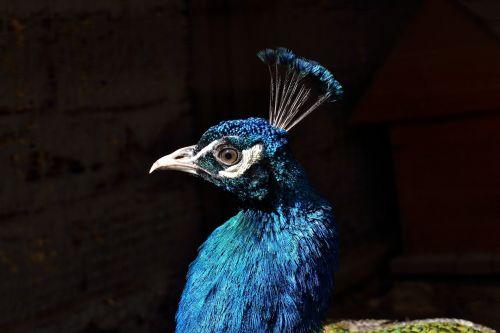 Povas galva, portretas, Iš arti, spalvinga, plunksnos, viešasis & nbsp, domenas, tapetai, fonas, laukinė gamta, gamta, turkis, paukščiai, natūralus, plumėjimas, egzotiškas, atogrąžų, gyvas, egzotiškas povas