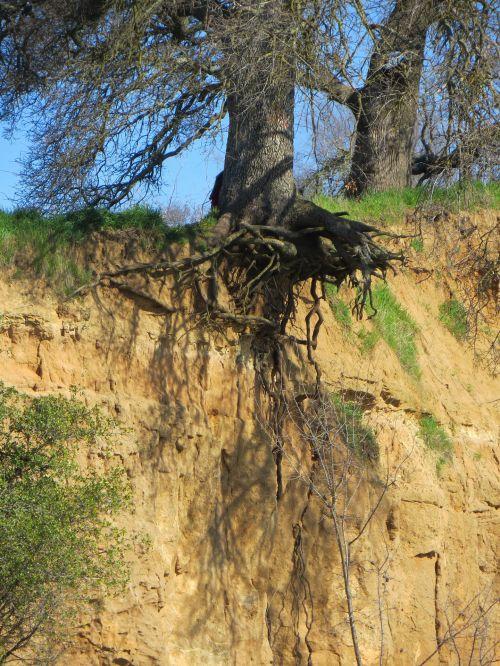 medis, šaknys, erozija, uolos, blefas, poveikis, atviros šaknys 1030