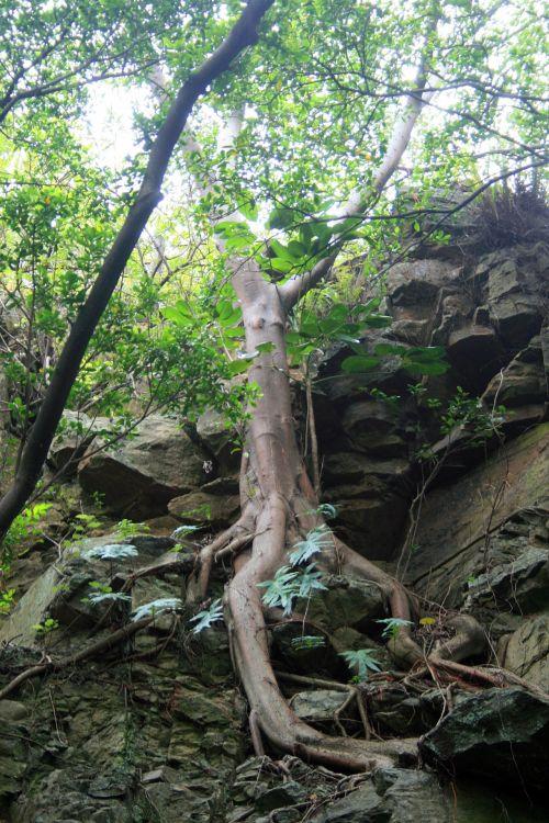 medis, šaknys, uolos, akmenys, samanos, augmenija, atvirų medžių šaknys 2