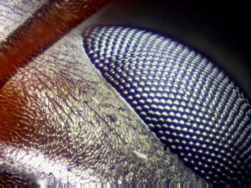 akis,akis arti klaida akis,ant akis,makro,laukinė gamta,nuotraukų surinkimas,mikroskopas,mikroskopija