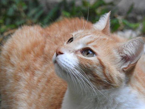 katės akis,atrodo,katė,naminis gyvūnėlis,kačių,kačių veido,kačių akys,gyvūnai,gata,kačių išvaizda,gyvūnas,akys,Žiūrėti,žalios akys,ūsai,kačių nosis,katės namai,plaukuotas
