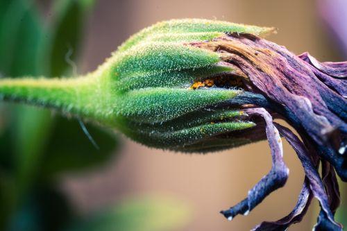 išblukęs,makro,osteospermumo ecklonis,viršukalnės krepšys,bornholm marguerite,gėlė balta,mėlynas,violetinė,marguerite,žiedas,žydėti,gėlė,gamta,augalas,žydėti,Uždaryti