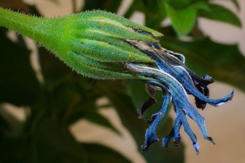 išblukęs,makro,osteospermumo ecklonis,viršukalnės krepšys,bornholm marguerite,gėlė balta,mėlynas,violetinė,marguerite,žiedas,žydėti,gėlė,gamta,augalas,žydėti,Uždaryti,sausas