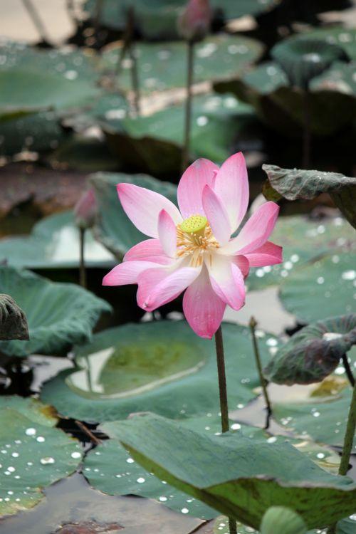 išblukusi & nbsp, lotus & nbsp, gėlė & nbsp, žiedas, rožinė & nbsp, lotus & nbsp, gėlė, žiedlapis, išblukęs lotoso žiedas, rožinis