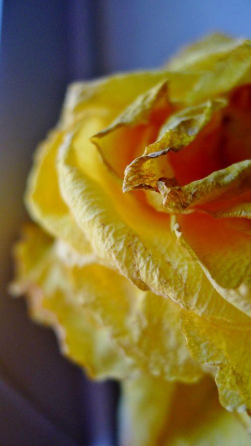 geltona, gėlė, žiedlapiai, rožė, wilt, vulkanizavimas, Draugystė, makro, liūdnas, mirti, išblukusi draugystė