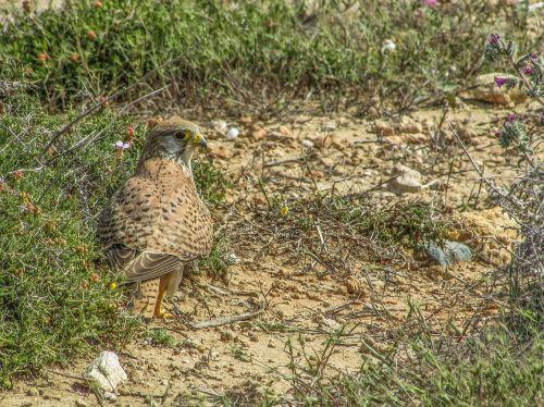 falcon,paukštis,gyvūnas,vanagas,paukščių stebėjimas,laukinė gamta,gamta,fauna,Kipras,laukinė gamta-fotografija,ornitologija