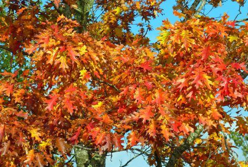 kritimas,spalvos,rudens lapai,lapija,spalvos patenka,ryskios spalvos,palieka rudenį,klevas