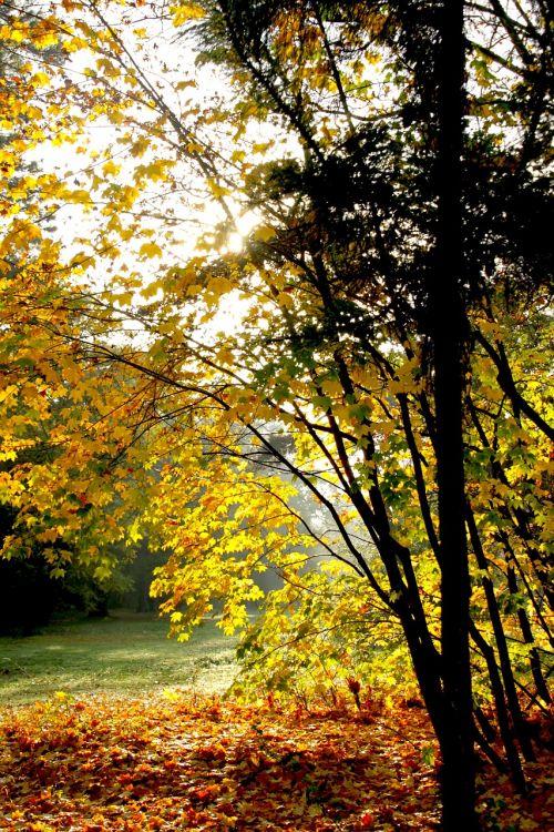kritimas,lapai,negyvas lapelis,rudens lapai,raudonas lapas,geltona,medžiai,klevo lapai,parkas,augalas,aukso ruduo,medžių lapai,lapija,gamta,spalva