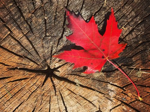 kritimas,Lapų klevas,Kanada,klevo lapai,gamta,klevas,lapai,rudens lapas,rudens lapai,lapai,raudonas lapas,ruduo,raudona,medžių lapai,medis,negyvas lapelis,raudoni lapai,québec,rudens kraštovaizdis,sausas lapai,mediena,miškas,spalva,lapas šlapias,klevo lapas,spalvinga,ryskios spalvos