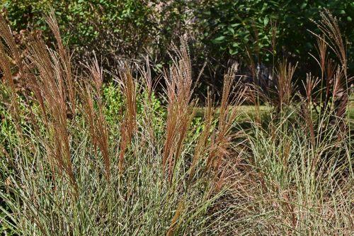 kritimas,plunksnų žolė,dekoratyvinė žolė,žolė,augalas,sodas,gamta,ruduo,ruda,žalias,spalvinga