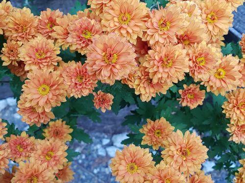 kritimo gėlės,chrizantema,gėlių tapetai,ruduo,gėlės,geltonos chrizantemos,wildflower,mažos geltonos gėlės,fono nuotrauka,asteraceae