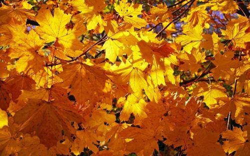 kritimo lapija,aukso geltona,klevas,lapai,kritimo lapai,kritimo spalva,rudens spalvos,ruduo,auksas,klevo lapai,lapija,atsiras,šviesus,aukso ruduo,auksinis spalio mėn .