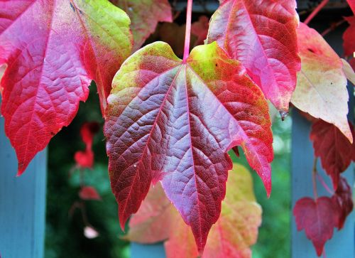 kritimo lapai,rudens spalvos,rudens spalvos,spalvoti lapai,kritimo spalva,ruduo,kritimo lapija,lapai,raudona,vynmedis,gamta,dažymas,metų laikas,flora,botanika,vyno partneris,laukiniai vynuogių lapai,sodas,tipiškas ruduo,parkas