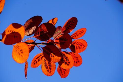 kritimo lapai,ruduo,perukinis šepetys,lapai,kritimo lapija,raudona,modelis,cotinus,coggygria,rudens lapas,lapai,šviesus,herbstimpressija,įspūdis,rudens spalvos,taškai,pastebėtas,krūmas,Cotinus coggygria,giraitė,dekoratyvinis,sodo augalas,dekoratyvinis augalas,botanika,gamta,flora,augalas,dekoratyvinis krūmas,sodo giraitė,reguliarus perukos šepetys,paragauti medis,fisettholz,Dyer Sumac,schmack,venetian sumac,vengrų smakras,tyrolo želė,žalsva žalia,Anacardiaceae,vasaros žalia kirpykla