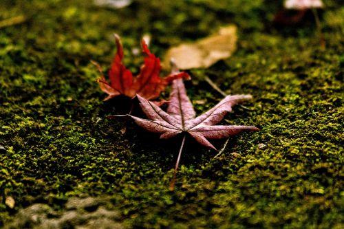 nukritę lapai,samanos,rudens lapai,lapai,ruduo,Japonija,Japonijos kritimas,natūralus,negyvi lapai