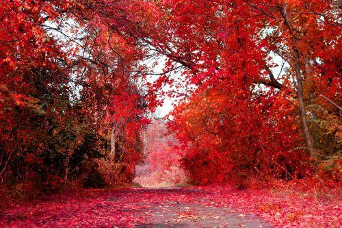 kritimas, ruduo, sezonas, sezoninis, raudona, raudona & nbsp, lapai, lapai, klevas, medžiai, raudona, Spalio mėn, patenka į raudoną