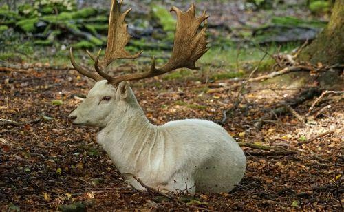 paprastosios elnies,baltos paprastosios elnies,antler,miškas,ašmenys