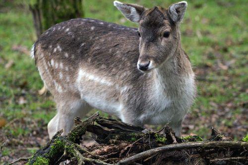 paprastosios elnies,Hirsch,miškas