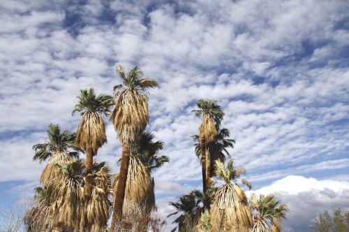 fanų palmės,marios oazė,Joshua medžio nacionalinis parkas,Kalifornija,usa,debesys,kraštovaizdis,gamta,sausas,lauke,dykuma,vaizdingas,karštas,dangus