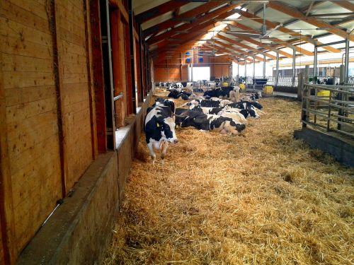 ūkis,stalas,karvė,gyvūnai,karvės,gyvuliai,pieno karvė,hof,šiaudai,santūra,kaimas,gyvuliai,laukinės gamtos fotografija,Žemdirbystė