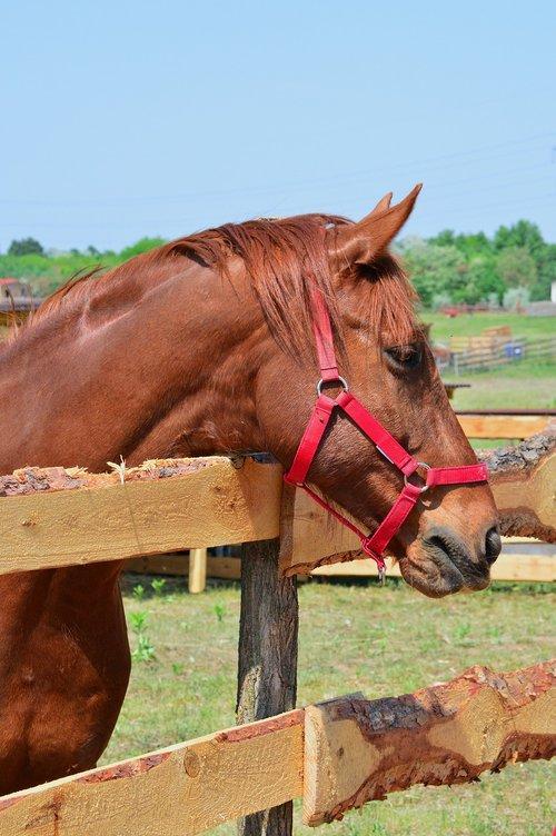 ūkis, žinduolis, gyvūnas, kaimo vietovės, ganyklos, vejos, pobūdį, gyvulininkystė, arklys, karčiai, Mare, arklys galva, arklio akys, akių, žiūri, állatportré, arklys ausis, galva, augintiniai, arklys nosies, kanopiniai, arklys portretas, arklys žandikaulio, rudi arklys