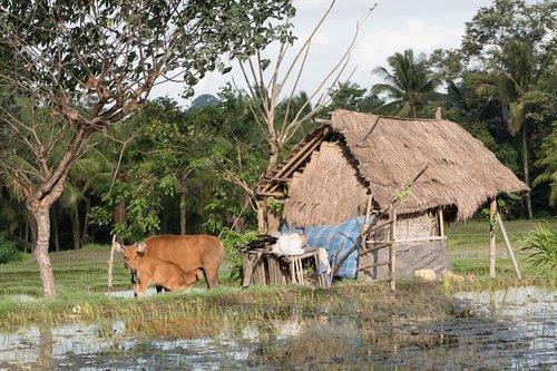 ūkis, žemės ūkio naudmenų, ryžių, kaimo, kaimo, Žemdirbystė, Žemės, pasėlių, pobūdį, derlius, ryžiai Paddy, ryžių laukas, Paddy, karvė, galvijų, namelis, Ubud, Bali, Indonezija