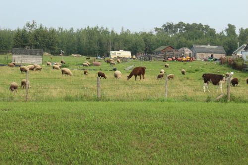 ūkis, avys, lama, gyvuliai, Ūkių avių lamos gyvuliai
